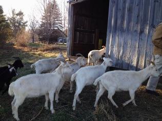 goat tour 4